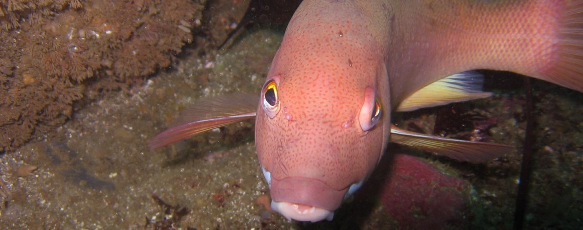 Female California Sheephead